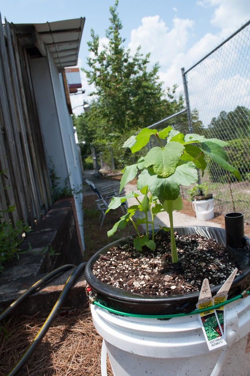 Okra The No Brainer Planter